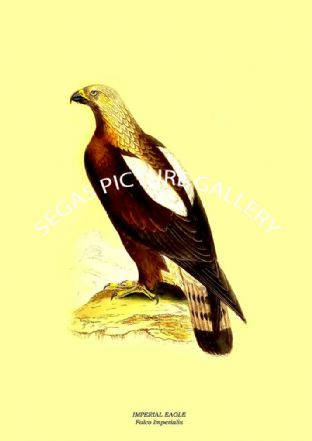 Imperial Eagle - Falco Imperialis